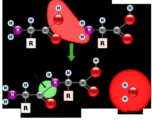 Аминокислоты, реакция поликонденсации с образованием пептидов